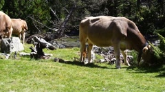 Cows Pyrenean. Cows grazing free in the high mountains of the Pyrenees - stock footage