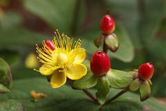 Blossom and berries of hypericum or st. john's wort (hypericum inodorum, 'mag Stock Photos