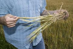Farmer examining cereal Stock Photos