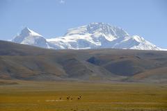 small herd of tibetan wild asses (equus kiang) running across the high platea - stock photo