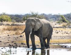 Afrikanischer elefant (loxodonta africana) steht zum trinken im wasser Stock Photos