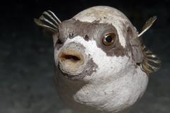 maskenkugelfisch (arothron diadematus), portrait, marsa shouna bei marsa alam - stock photo