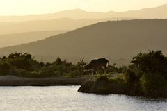 großer kudu   (tragelaphus strepsiceros) am abend am wasserloch. addo elepha - stock photo
