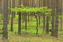 Young Oak tree Quercus growing in between Scots Pines Pinus sylvestris in a Stock Photos
