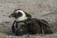 brillenpinguin (spheniscus demersus) | jackass penguin (spheniscus demersus) - stock photo