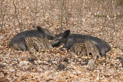 Stock Photo of Wild Boars Sus scrofa two sows with suckling piglets captive North