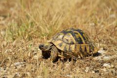 Dalmatian Tortoise Testudo hermanni hercegovinensis Dalmatia Croatia Europe - stock photo