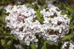 Arrowwood Viburnum carlesii Baden Wurttemberg Germany Europe - stock photo