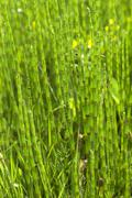 Stock Photo of acker-schachtelhalm (equisetum arvense), bayern, deutschland