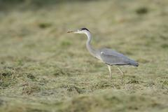 Grey Heron Ardea cinerea foraging on a cut meadow North Rhine Westphalia - stock photo