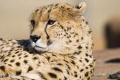 Cheetah Acinonyx jubatus Johannesburg Gauteng Province South Africa Africa Kuvituskuvat