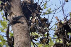 Straw coloured Fruit Bats Eidolon helvum on a tree Kasanka National Park Kuvituskuvat