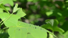 Dew water drops on decorative deciduous tree leaf sun reflection Stock Footage