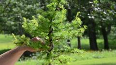 Close scene of man hands care cut bonsai larch tree - stock footage