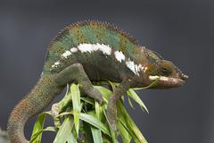 Panther Chameleon Furcifer pardalis butterfly house Forgaria nel Friuli Udine - stock photo