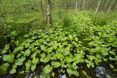 Stock Photo of Bog Arum Calla palustris Vogelmoor Nature Reserve Lower Saxony Germany Europe