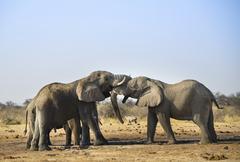 Two elephants playfully fighting African Elephant Loxodonta africana Etosha - stock photo