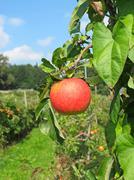 Apple garden Stock Photos