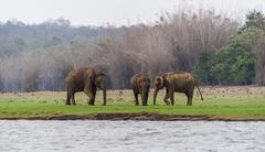 Asian elephant or Indian elephant Elephas maximus male Kabini Reservoir - stock photo