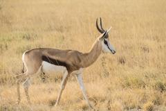 Stock Photo of Springbok Antidorcas marsupialis Etosha National Park Namibia Africa