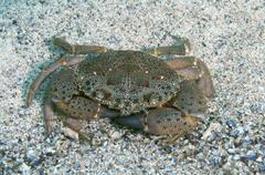 Warty Crab Yellow Crab Eriphia verrucosa Black Sea Crimea Russia Europe Stock Photos