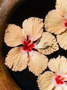 Hibiscus blooms swimming Stock Photos