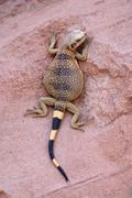 Chuckwalla Sauromalus ater male young climbing on red sandstone Valley of Fire - stock photo