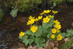 Marsh Marigold Caltha palustris Bavarian Forest National Park Bavaria Germany - stock photo