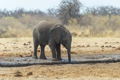 African Bush Elephant Loxodonta africana at a waterhole Etosha National Park Stock Photos