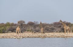 Giraffes Giraffa camelopardis drinking Klein Namutoni water hole Etosha Stock Photos