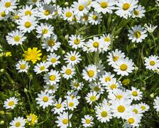 Stock Photo of Flower meadow with marguerites Andalucia Spain Europe