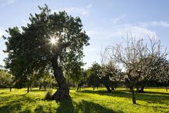 Evergreen Oaks Quercus ilex and Almond trees Prunus dulcis on flowering clover Stock Photos