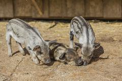 Mangalitsa or Mangalitza Pigs Sus scrofa domestica piglets Tyrol Austria Europe Kuvituskuvat