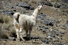 Llama Lama glama standing in the Andean Highlands Altiplano Department of La Stock Photos