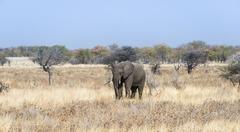 Young African Elephant Loxodonta africana moves through dry bushland Etosha - stock photo