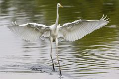 Great Egret Ardea alba fishing with spread wings North Hesse Hesse Germany - stock photo