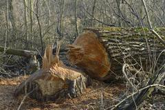 Tree chewed down by a beaver Lobau Donau Auen National Park Lower Austria Stock Photos