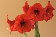 Red Amaryllis Amaryllis flowers Stock Photos