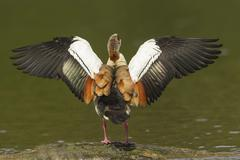 Stock Photo of Egyptian Goose Alopochen aegyptiacus beating of wings North Hesse Germany Europe