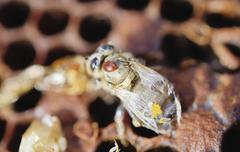 Bee colony infested with Varroa Honey Bee Mites Varroa destructor syn Jacobsoni Stock Photos