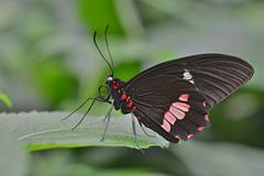 Lysander Cattleheart Parides lysander native to Guiana butterfly house Forgaria - stock photo
