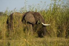 African Elephant Loxodonta africana feeding on high reeds on the river banks of Stock Photos