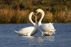 Mute swans Cygnus olor courtship Rieselfelder Munster North Rhine Westphalia Stock Photos