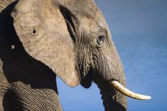 African Elephant or African Bush Elephant Loxodonta africana Addo Elephant Stock Photos