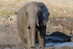 African Bush Elephant Loxodonta africana bathing in mud Mpumalanga Province Stock Photos