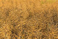 rapeseed maturity - stock photo