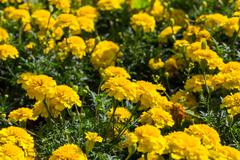 yellow aster flowers in the garden - stock photo
