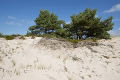 Stock Photo of Dunes with Scots Pines Pinus sylvestris Darsser Ort Darss Western Pomerania