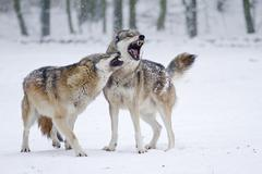 Howling Wolves Canis lupus in the snow Hesse Germany Europe Kuvituskuvat