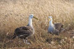 Waved Albatrosses Phoebastria irrorata Espanola Island Galapagosinseln Ecuador - stock photo